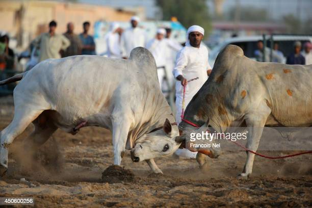 Two bulls challenge each other during traditional bullfighting at Fujairah Corniche on June 13 2014 in Fujairah United Arab Emirates