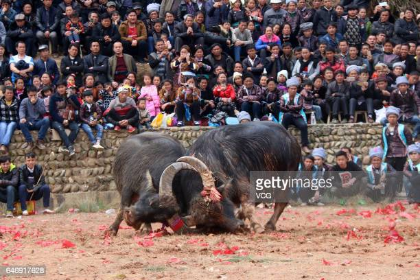 Two bulls fight against each other during a bull fighting competition at Congjiang County on March 1 2017 in Qiandongnan Miao and Dong Autonomous...