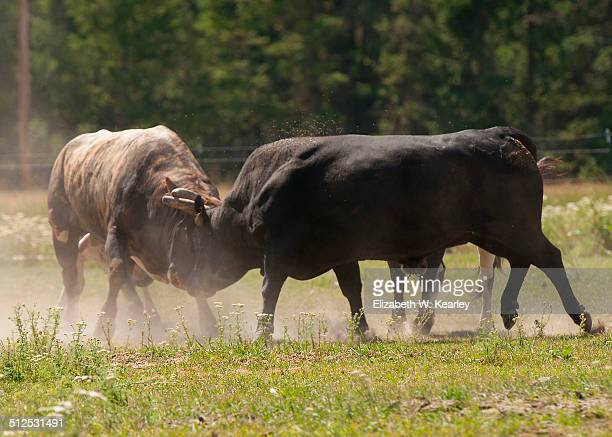 two bulls fighting - bullfight stock pictures, royalty-free photos & images