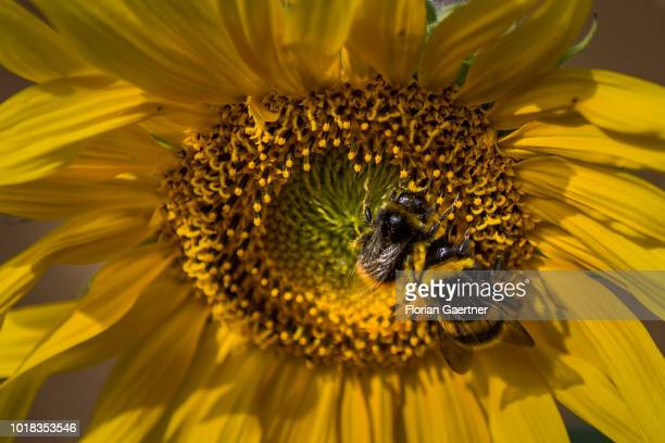 Two bumblebeee are pictured on a sunflower on August 15 2018 in Boxberg Germany