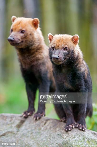 two bush dogs on a stone - bush dog stock pictures, royalty-free photos & images