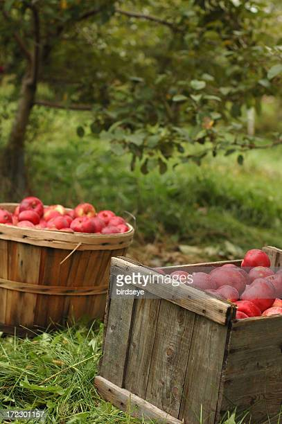 Two bushels of apples sitting on grass in apple orchard