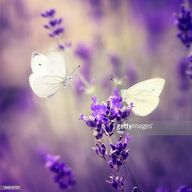 Two butterflies checking out a lavender