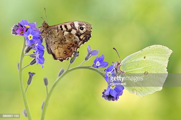 Two butterflies, Common Brimstone butterfly (Gonepteryx rhamni), The Speckled wood (Pararge aegeria)