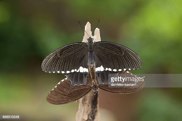 two butterflies mating, jember, east java, indonesia - accouplement animal photos et images de collection