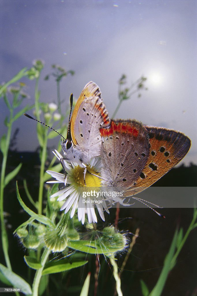 Two butterflies mating on a flower, close-up : Stock Photo
