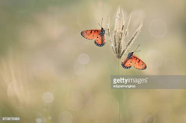 Two butterflies on grass, Jombang, East Java, Indonesia