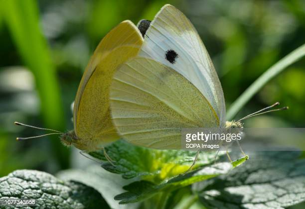 Two cabbage white butterflies seen on a green leaf