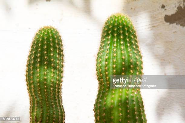 Two cactus with penis shape