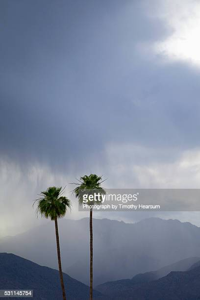 two california fan palm trees with mountains and rain clouds beyond - timothy hearsum stock photos and pictures