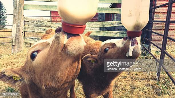Two Calves Being Fed Milk From Bottles