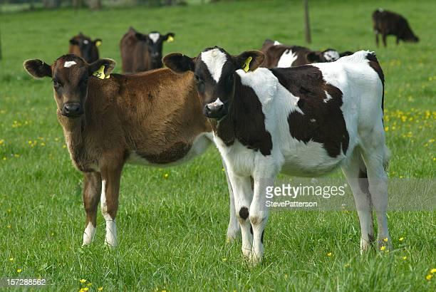 Two Calves in Field