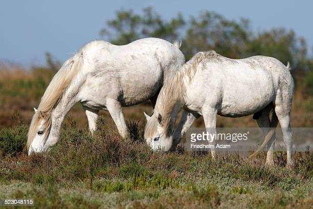 two camargue horses -equus caballus- eating in a protected area, camargue, france, europe - animal digestive system stock photos and pictures