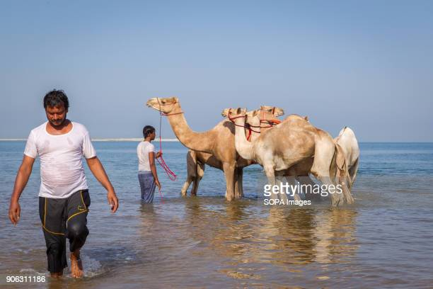 Two camel handlers are getting their camels ready to be taken into the sea for a wash and bath to get rid of ticks and fleas The salty water from the...