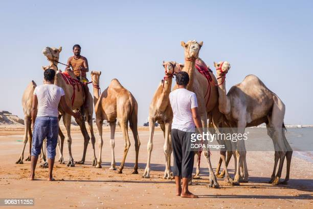 Two camel handlers have just brought out their camels from the sea after they had been washed and bathed to get rid of ticks and fleas The salty...