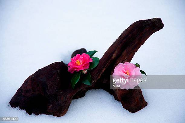 Two camellia flower on a log