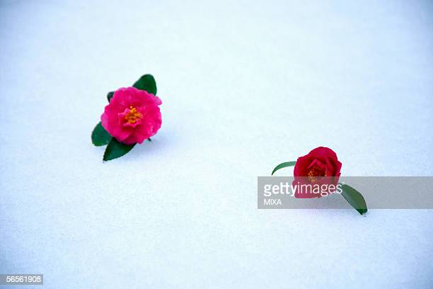 two camellia flower on snow - wabi sabi stock pictures, royalty-free photos & images