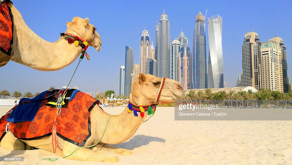 Two Camels Against Dubai Cityscape : ストックフォト