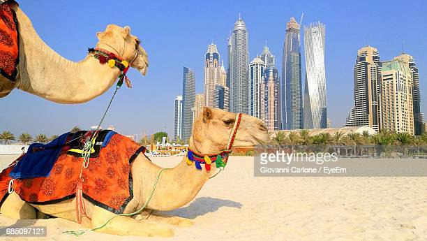 Two Camels Against Dubai Cityscape