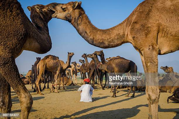 Two camels are showing affection to each other. Camel owner is taking rest with his flock of camels at Pushkar fair ground.