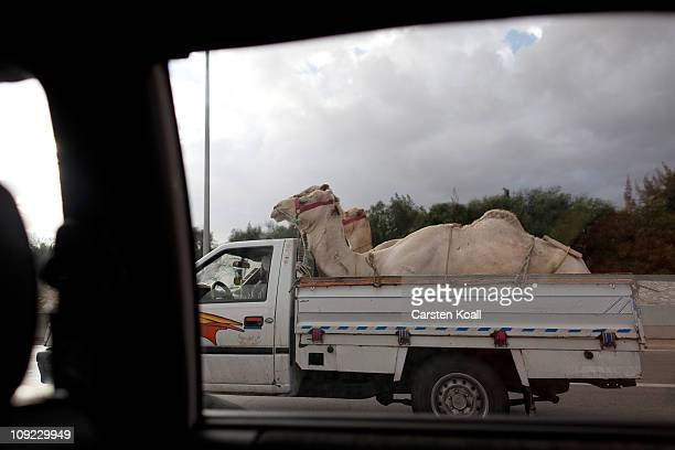 Two camels are transported in the back of a pickup jeeps on the express way on February 16 2011 in Cairo Egypt With tourism counting for 6 percent of...