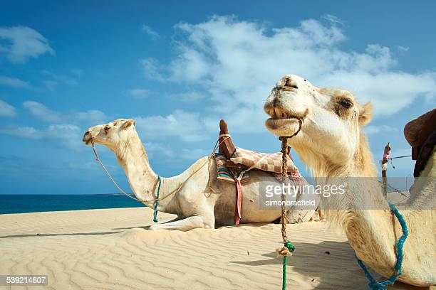 Deux chameaux de Boa Vista, Cap Vert