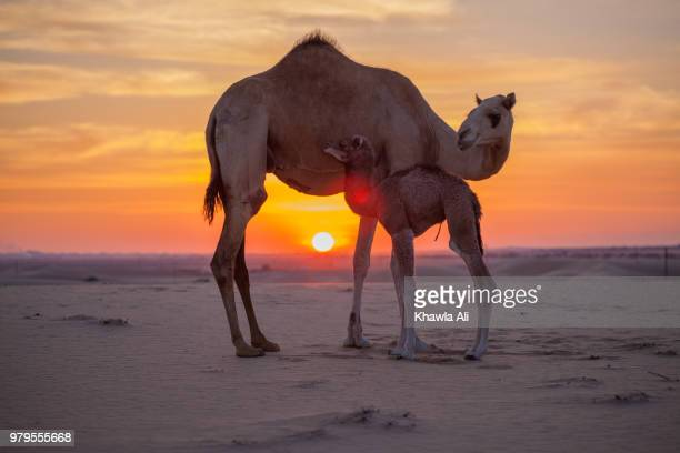 Two camels on sand at sunset, United Arab Emirates