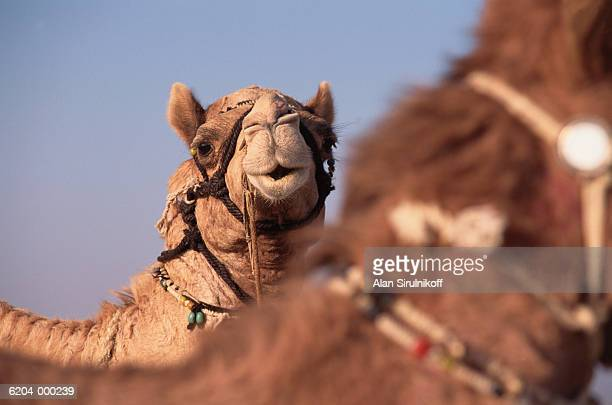 two camels - sirulnikoff stock pictures, royalty-free photos & images