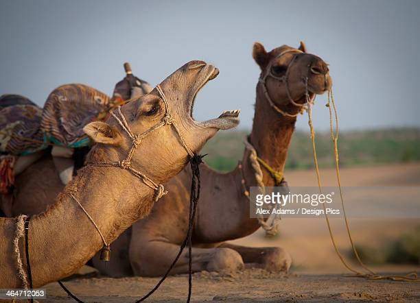 two camels sitting on the ground - big bums stock pictures, royalty-free photos & images