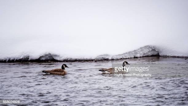 two canada geese in the madison river - highlywood - fotografias e filmes do acervo