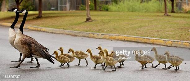 Two Canada Geese lead a group of goslings across a road inside Denver's City Park