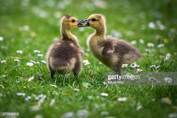 Two Canada goose goslings are pictured on a daisy meadow at the Volksgarten park in Duesseldorf western Germany on May 5 2015 AFP PHOTO / DPA / MAJA...