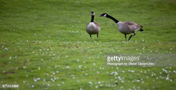 Two Canadian Geese Arguing