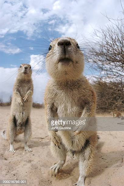 two cape ground squirrels (xerus inauris), close-up - prairie dog stock pictures, royalty-free photos & images