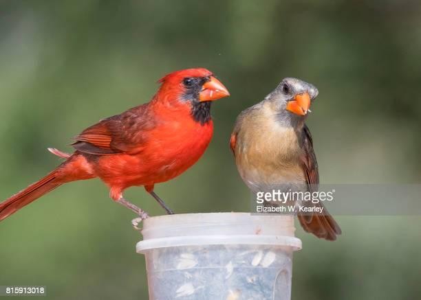 two cardinals eating at bird feeder - cardinal bird stock photos and pictures