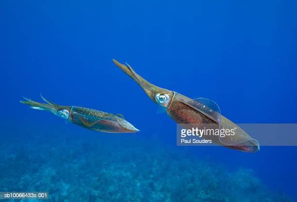 Two Caribbean Reef Squid (Sepioteuthis sepioidea), underwater view