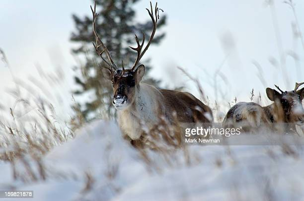 Two caribou in winter