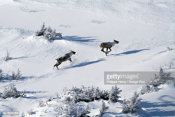 two caribou (rangifer tarandus caribou) running in the highland of mount albert gaspesie national park - gaspe peninsula stock pictures, royalty-free photos & images