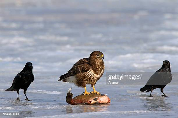 Two Carrion crows and Common buzzard feeding on fish on frozen lake in winter Germany