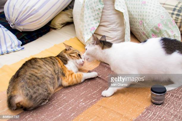 Two Cat Fighting on Bed