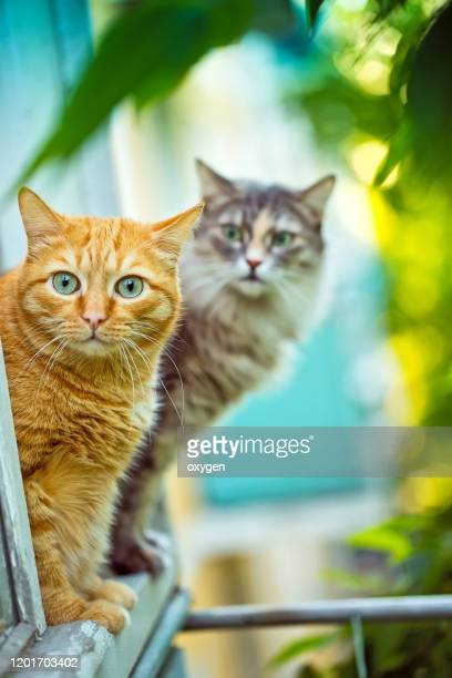two cat window balcony summernature sunny day. ginger cat and gray cat animal theme - animaux domestiques photos et images de collection