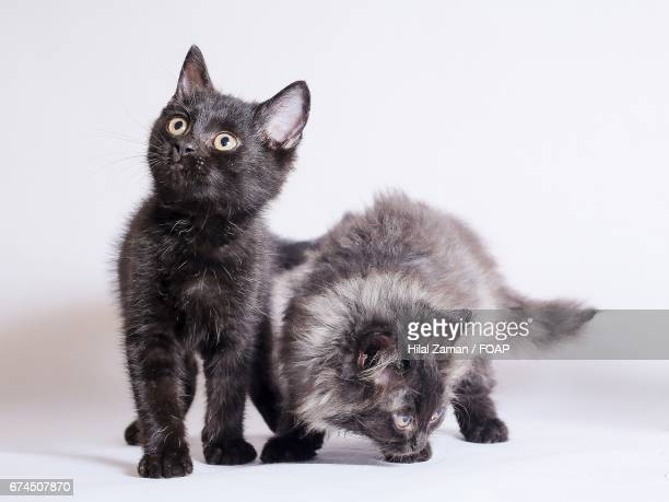 Two cats against white background