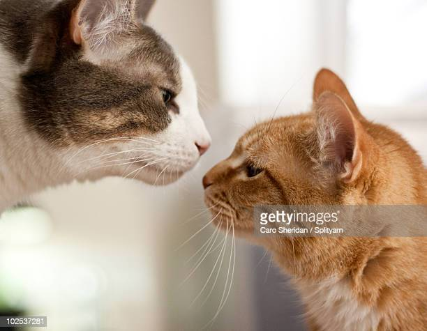 two cats almost kissing - somerville massachusetts stock pictures, royalty-free photos & images