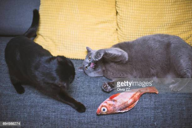 Two cats are fighting for a fish