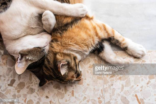 two cats, brother and sister, sleeping on a terrazzo floor - dorte fjalland stock pictures, royalty-free photos & images