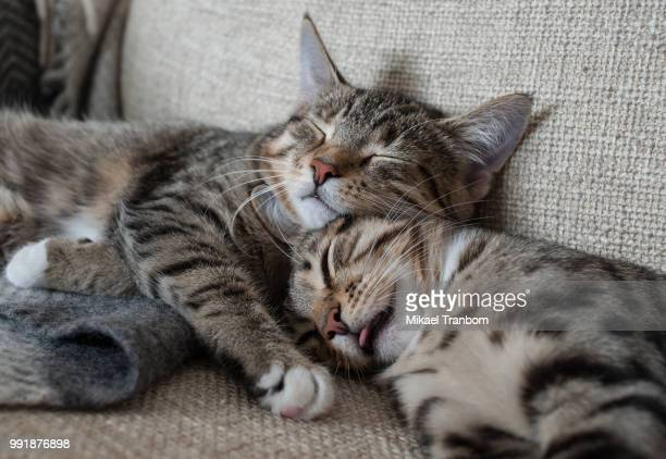 two cats hugging on couch - purebred cat stock pictures, royalty-free photos & images