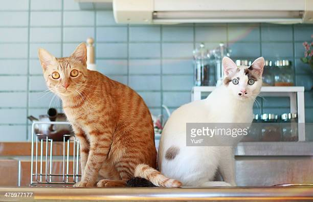 two cats in the kitchen - dos animales fotografías e imágenes de stock