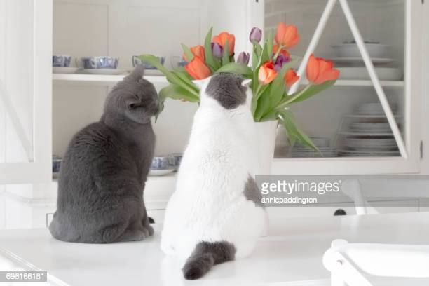 Two cats looking at tulips in kitchen