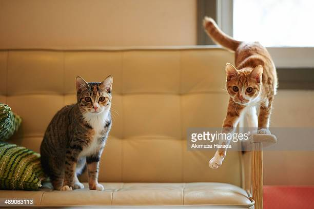 two cats on a chair - 2匹 ストックフォトと画像