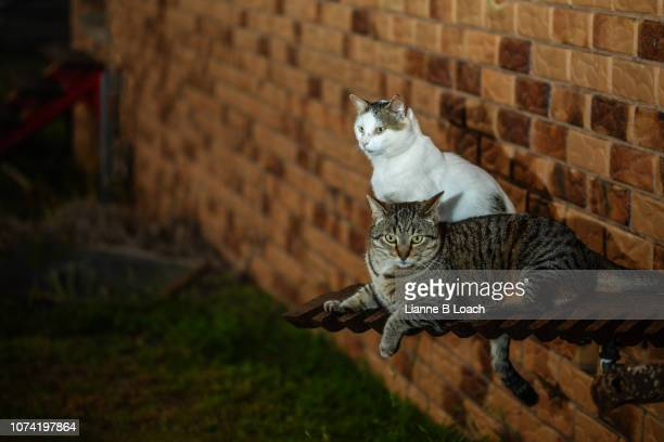 two cats - lianne loach stock pictures, royalty-free photos & images